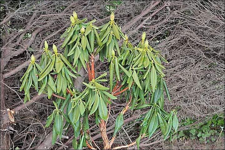 Phytophthora - Rhododendron ne fleurit pas ...