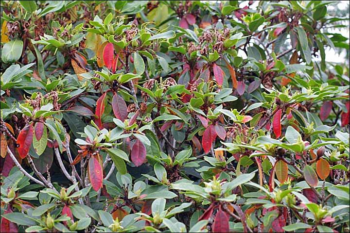 S nilit for Eleagnus maladie feuilles jaunes