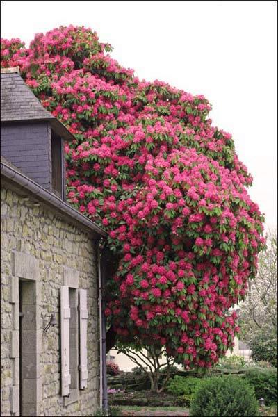 Rhododendron centenaire
